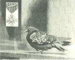 5-days-pigeon